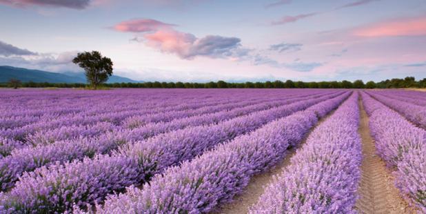 Schon der zarte Blütenduft von Lavendel beruhigt und hebt nachweislich unsere Stimmung