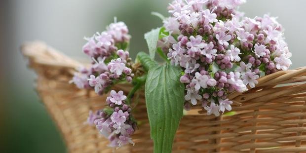 Baldrianblüten in einem Korb