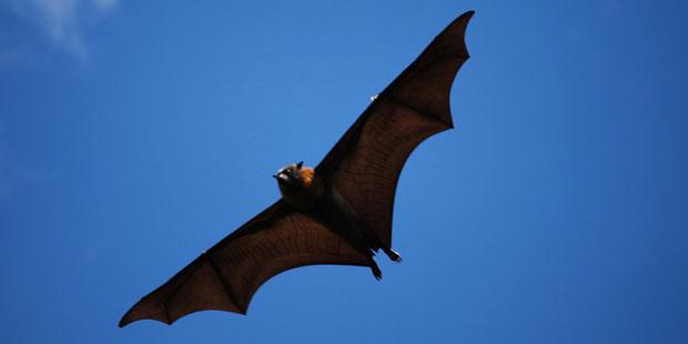 Fledermaus als Hauptwirt für Ebola