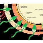 Fruchtbarkeit Folsäure Schwangerschaft und Neuralrohrdefekte