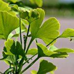 Ginkgo biloba: Wirkung Nebenwirkungen