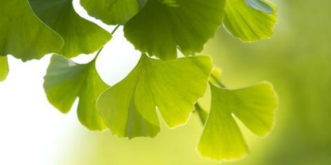 Ginkgo: natürlicher Wirkstoff für mehr Leistungsfähigkeit
