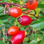hagebutten antioxidantien