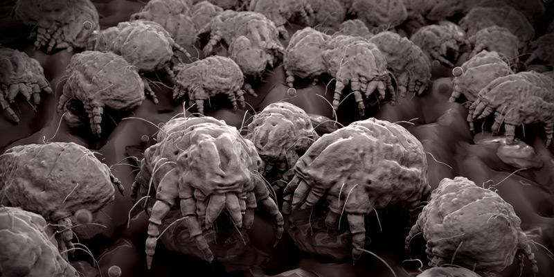 Bis zu 15.000 Milben befinden sich in nur einem Gramm Hausstaub