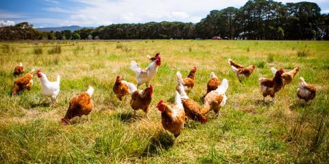 Freiland-Hühner auf einer Wiese