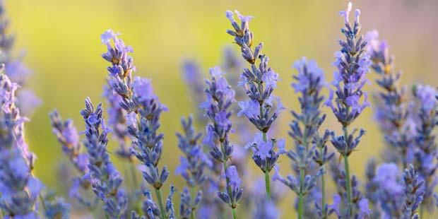 Lavendel enthält die angstlösenden Wirkstoffe Linalool und Linalylacetat