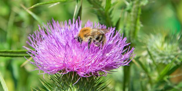 Zur medizinischen Verwendung ist es am besten die reife Blüte der Mariendistel zu ernten. Dazu ist in Mitteleuropa der August der beste Monat
