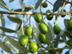 Olivenblätter wirken entzündungshemmend