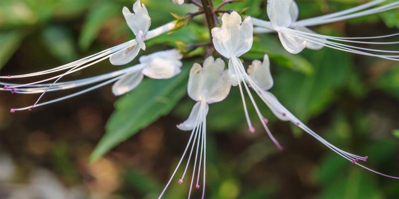 Die Blüte von Orthosiphon