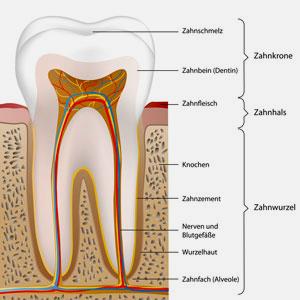 Ein Zahn besteht aus einer Zahnkrone und den Zahnwurzeln